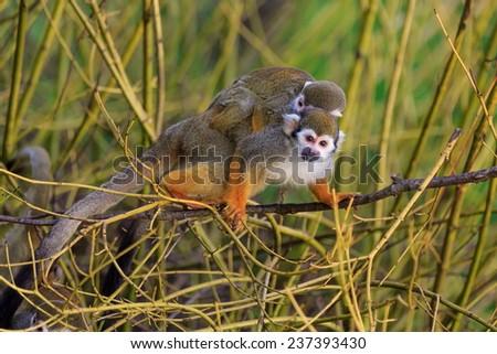 two Common squirrel monkeys - stock photo