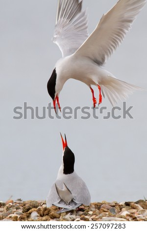 Two common terns with one flying above the other.