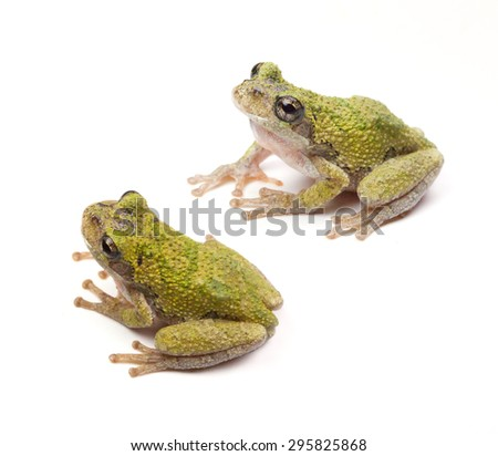 Two Cope's Gray Tree Frogs (Hyla chrysoscelis) on a white background - stock photo