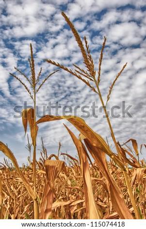 Two corn-stalks - stock photo