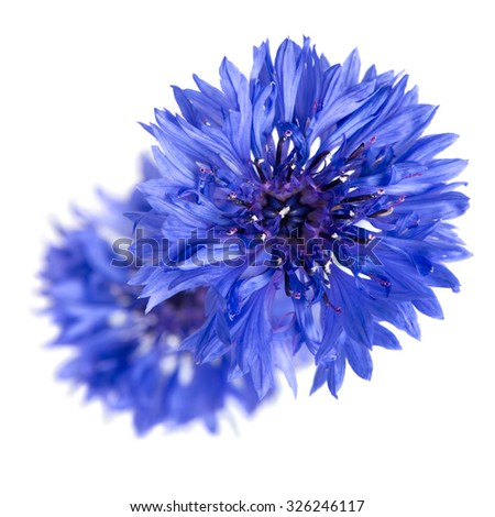 Two cornflowers close-up isolated over white background.