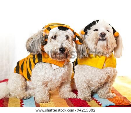 Two coton de tulear dogs in costumes - stock photo