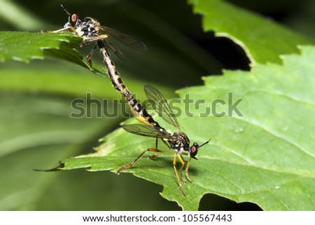 Two coupling dragonflies on a green leaf close up