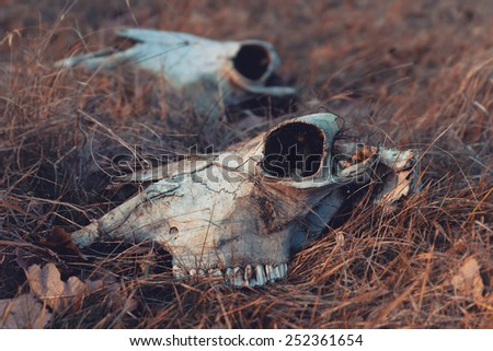 Two cow skull in dry grass - stock photo