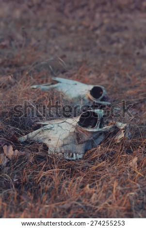 Two cow skull in dry grass