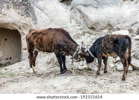 Two cows - stock photo