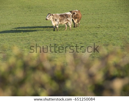 Two cows alone in a large field in Wales, UK. Hedgerow in foreground is in soft focus.