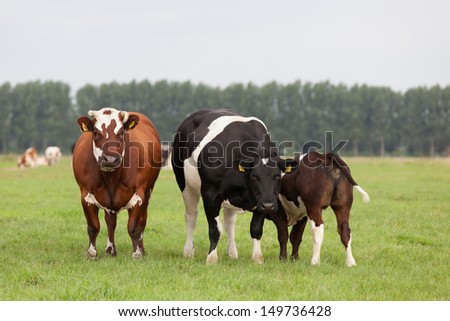 Two cows and a  suckling calf in a Dutch meadow landscape - stock photo