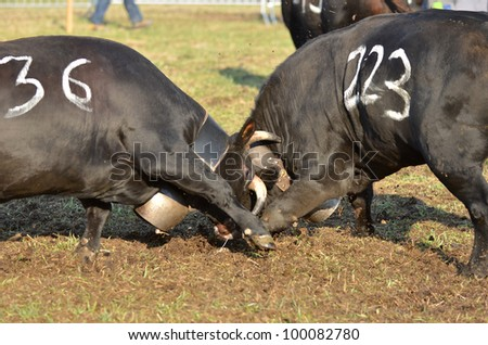 Two cows charge into each other as part of a cow fighting tournament to establish the reine who will lead the herd to the summer pastures. - stock photo