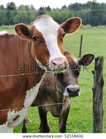 Two Cows Closeup - stock photo