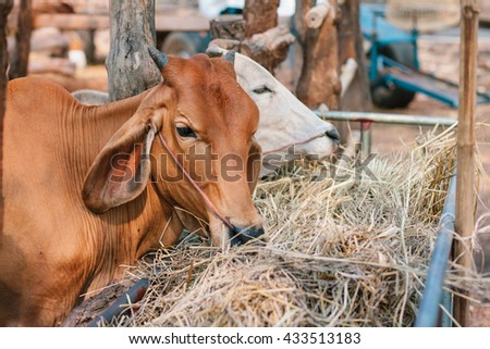 Two cows eating hay in stable.