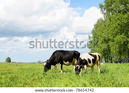 Two cows grazing in the field - stock photo