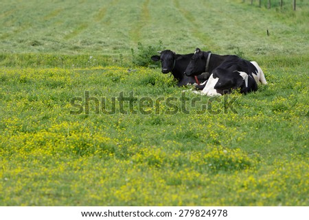Two Cows in pasture with buttercups - stock photo