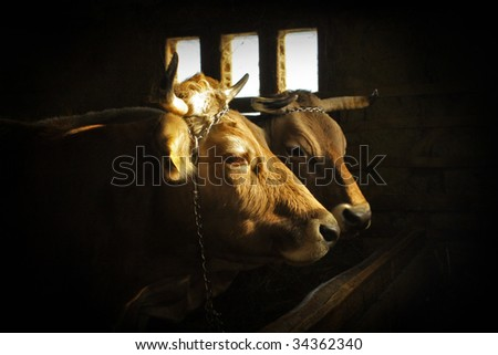 Two  cows in the old dark barn - stock photo