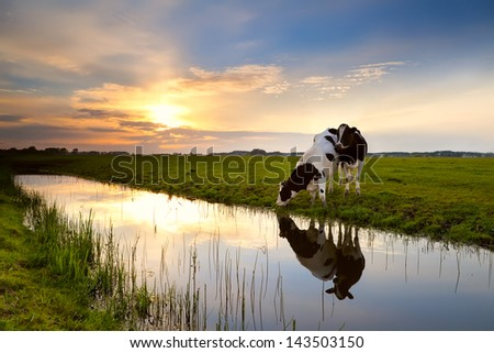 two cows on pasture by river at sunset - stock photo