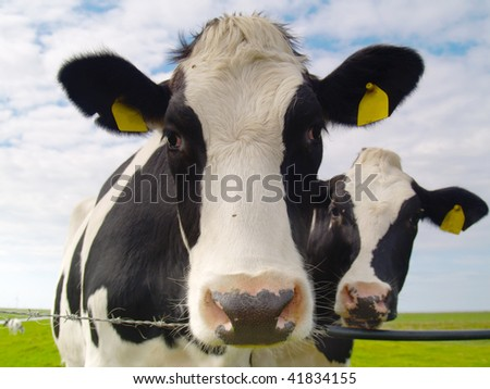 two cows on pasture in northern Germany - stock photo