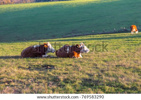 two cows relaxing after eating grass and lying on field  in setting autumn sun