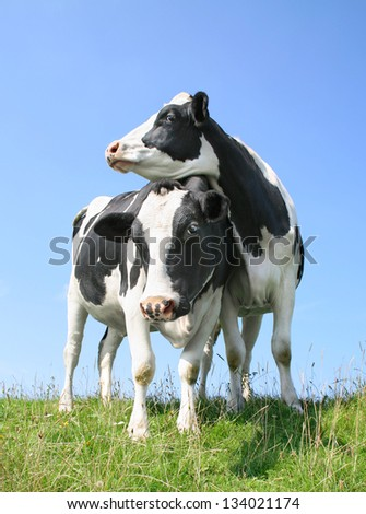 Two cows standing on seawall - stock photo