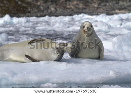 two crabeater seal on an ice floe near the Antarctic Peninsula - stock photo