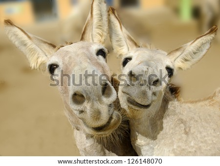 Two cream colored donkeys pose with happy smiles on their faces. - stock photo