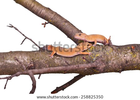 Two crested gecko sitting on a branch isolated on white background - stock photo