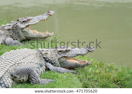 Two crocodile with open mouth beside pond
