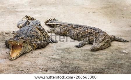 Two crocodiles in zoo - stock photo