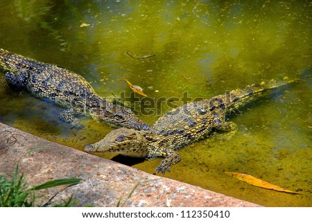 Two crocodiles play - Kwena Gardens in Sun City South Africa - stock photo