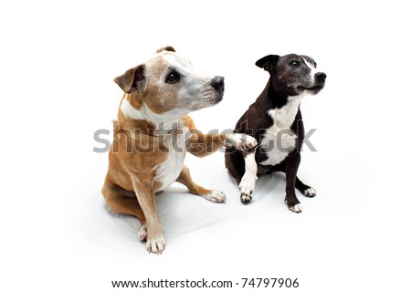 Two cross breed Staffordshire Terrier dog breeds - stock photo