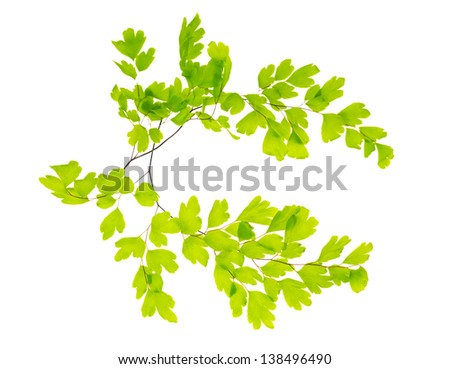 two crossed branches of a maidenhair - stock photo