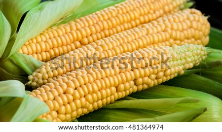 two  crude yellow corn with green leaves, vegetables