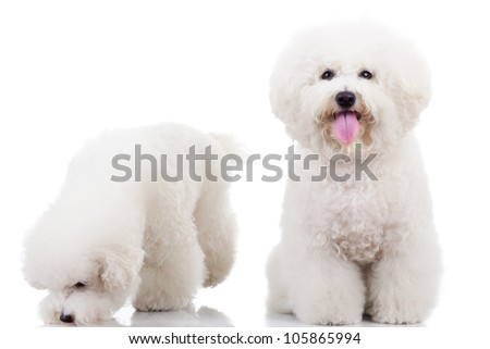 two curious bichon frise puppy dogs, one looking at the camera and one sniffing around - stock photo