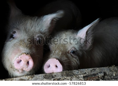 Two curious white pigs look out from the pen - stock photo