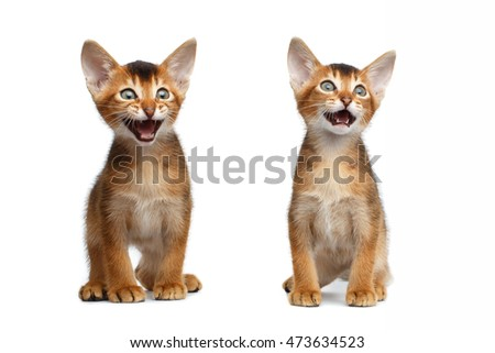 Two Cute Abyssinian Kitten Sits and Meowing on Isolated White Background, Front view, Baby Cat