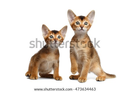 Two Cute Abyssinian Kitten Sitting and Curious Looking in Camera on Isolated White Background, Front view, Baby Animal