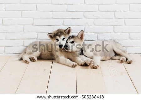 two cute adorable husky puppy or dogs domestic pet with black nose and gray soft fur laying on vintage wooden floor on brick white wall background, copy space