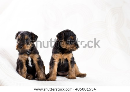 Two cute Airedale terrier puppy - stock photo
