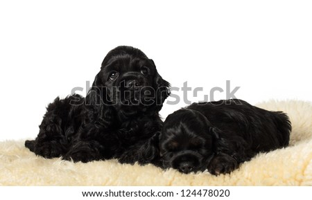 Two cute American Cocker Spaniel puppies on soft underlay. - stock photo