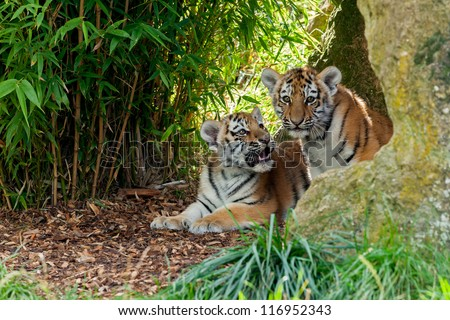 Two Cute Amur Tiger Cubs in Rocky Shelter Panthera tigris altaic