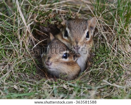 Two cute baby chipmunks trying to get out of the burrow together - stock photo