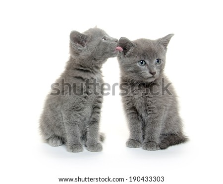 Two cute baby gray kittens on white background