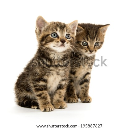 Baby tabby kittens