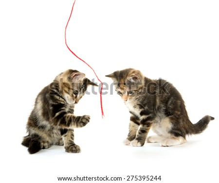 Two cute baby tabby kittens playing while isolated on white background - stock photo