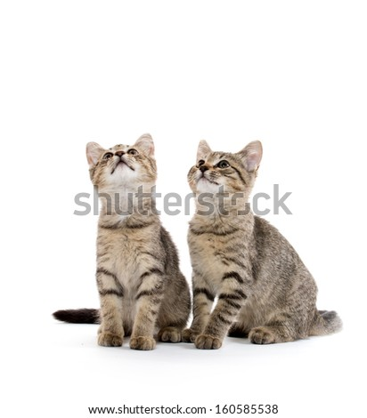 Two cute baby tabby short hair kittens on white background - stock photo