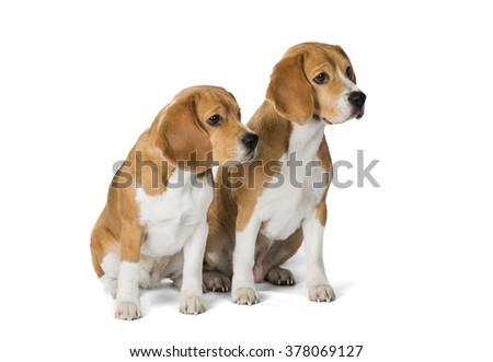 two cute beagle dog isolated on white background