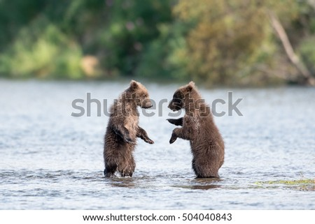 Two cute brown bear cubs play and fight in the Brooks River in Katmai National Park, Alaska