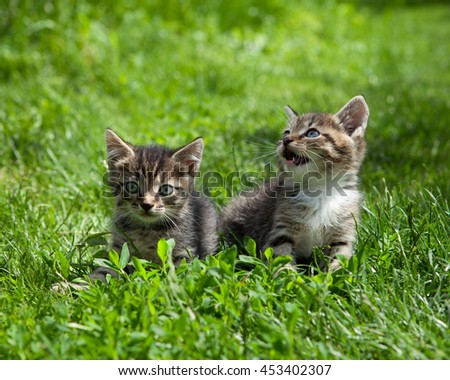 Two  cute  brown kittens playing outside in a summer garden