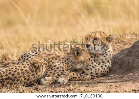 two cute cheetahs licking each others stock photo edit now