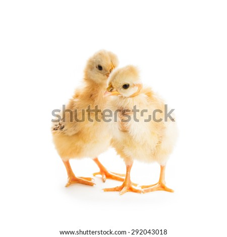 Two cute chicks  isolated on white. Gossip concept - stock photo