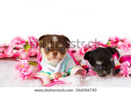 Two cute Chihuahua puppy wearing Kimono with Sakura flower, Japanese love style. - stock photo